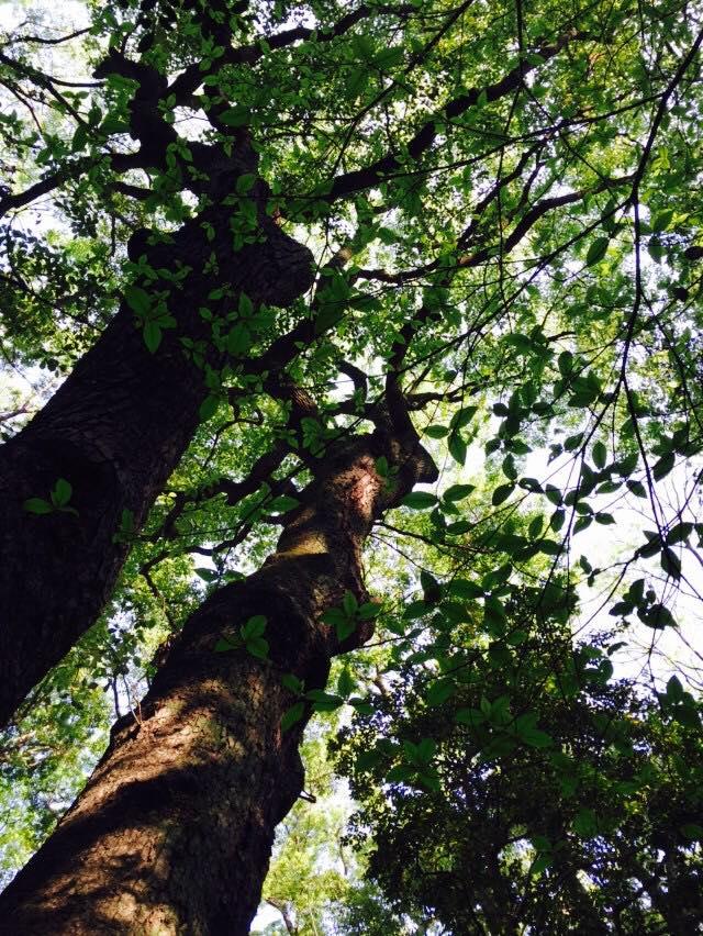 新緑の生田の森