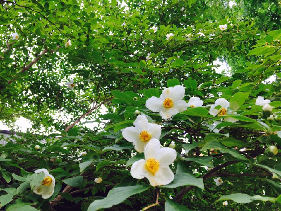 夏に咲く、清楚な白いツバキ