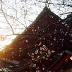 生田神社 咲き始め
