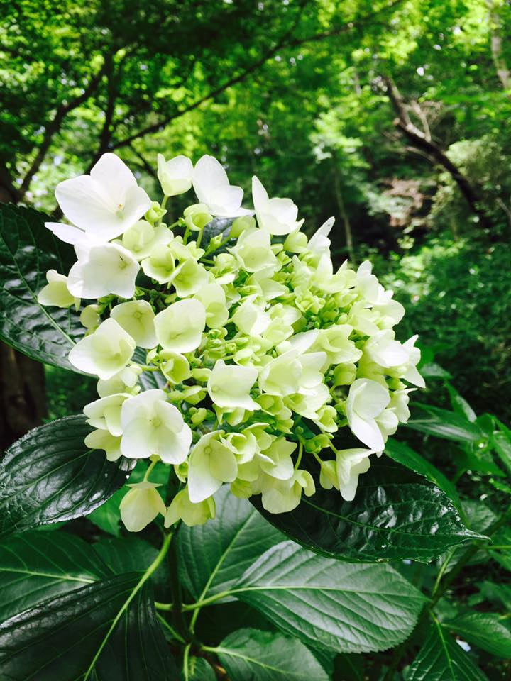 神戸の花 紫陽花