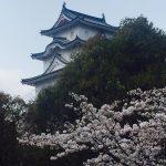 桜満開 明石公園散策