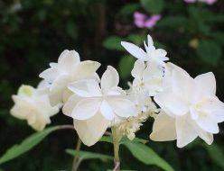 紫陽花 ハクチョウ