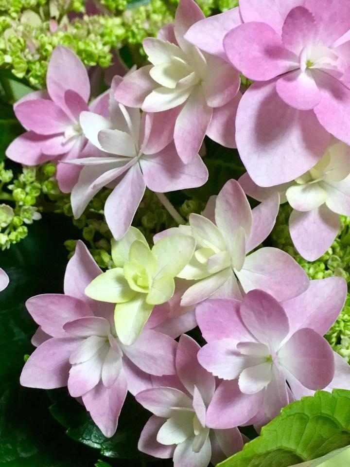 紫陽花・ダンスパーティー