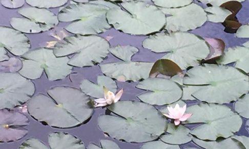 長谷池の睡蓮