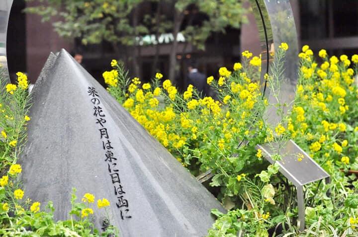 Canola flower ・菜の花デビュー