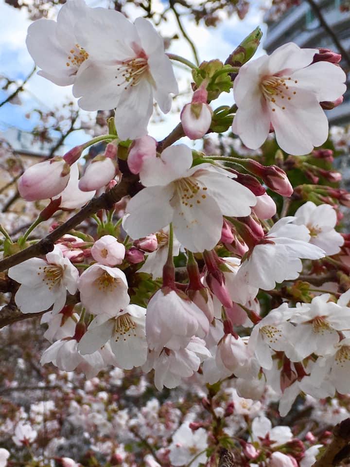 咲き始めの生田川サクラ🌸観察