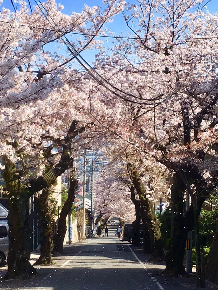 神戸市灘区、桜のトンネル