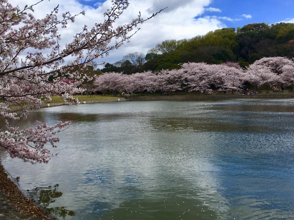 桜満開の明石公園