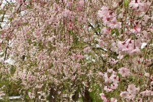 京都御苑のしだれ桜