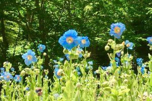 六甲高山植物園にて秘境の花