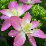 紫陽花 開花